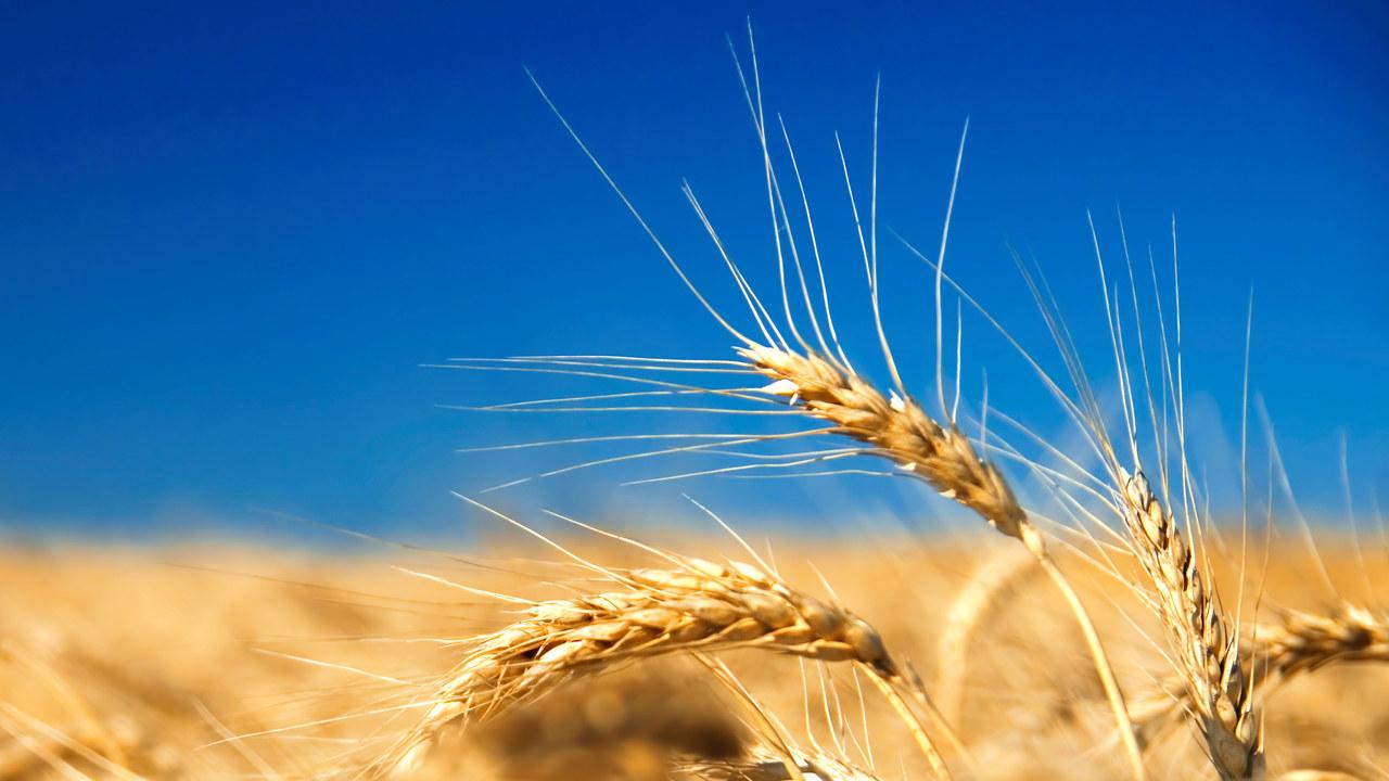 Hvete på kornåker, illustrasjonsfoto