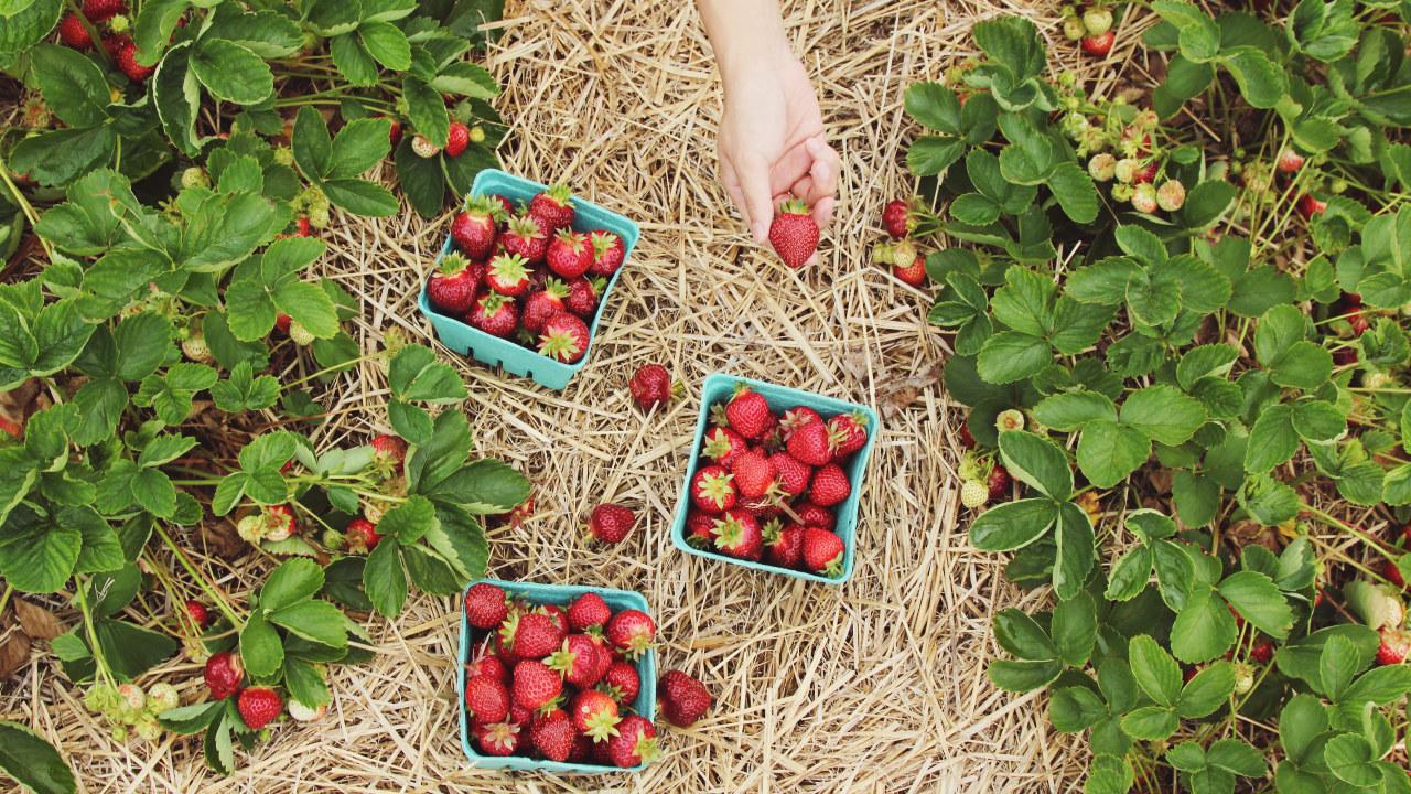 Bilde av jordbæråker med kurver med jordbær stående mellom radene.