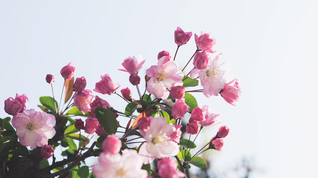 Blomstrende kirsebærtre
