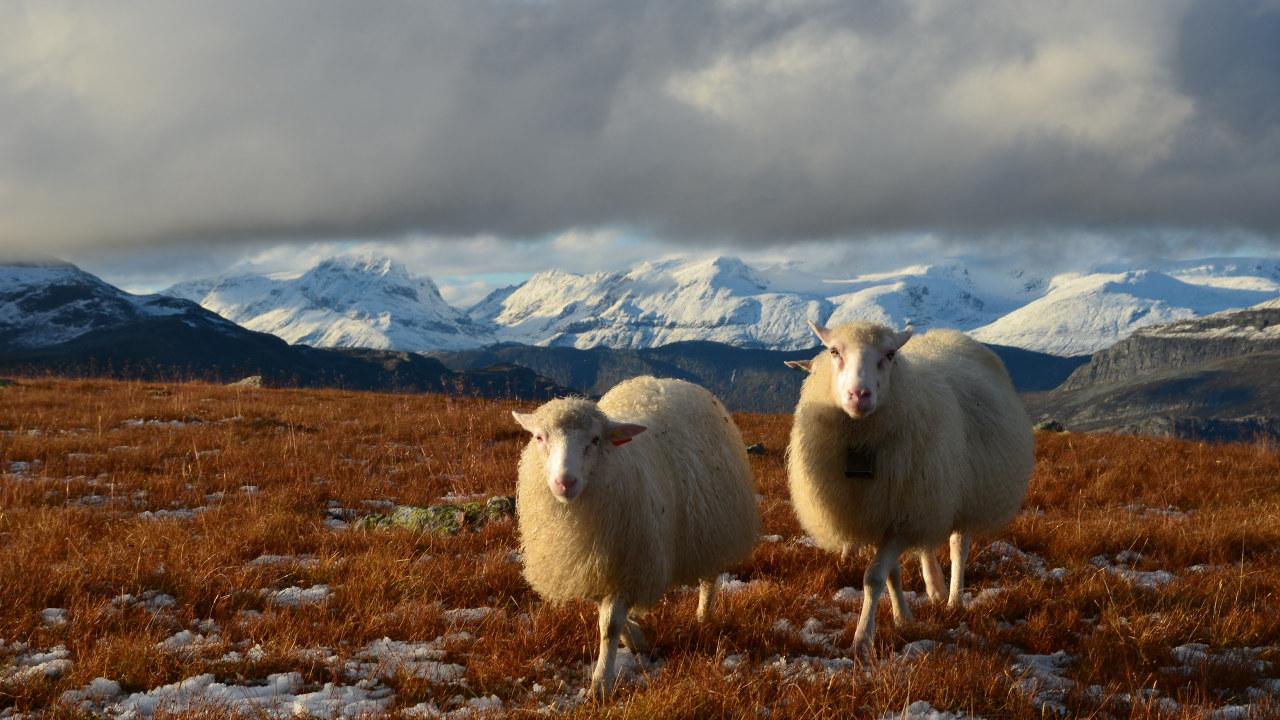 To sauer i fjellandskap