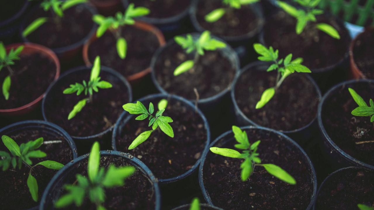 Nærbilde av små tomatplanter