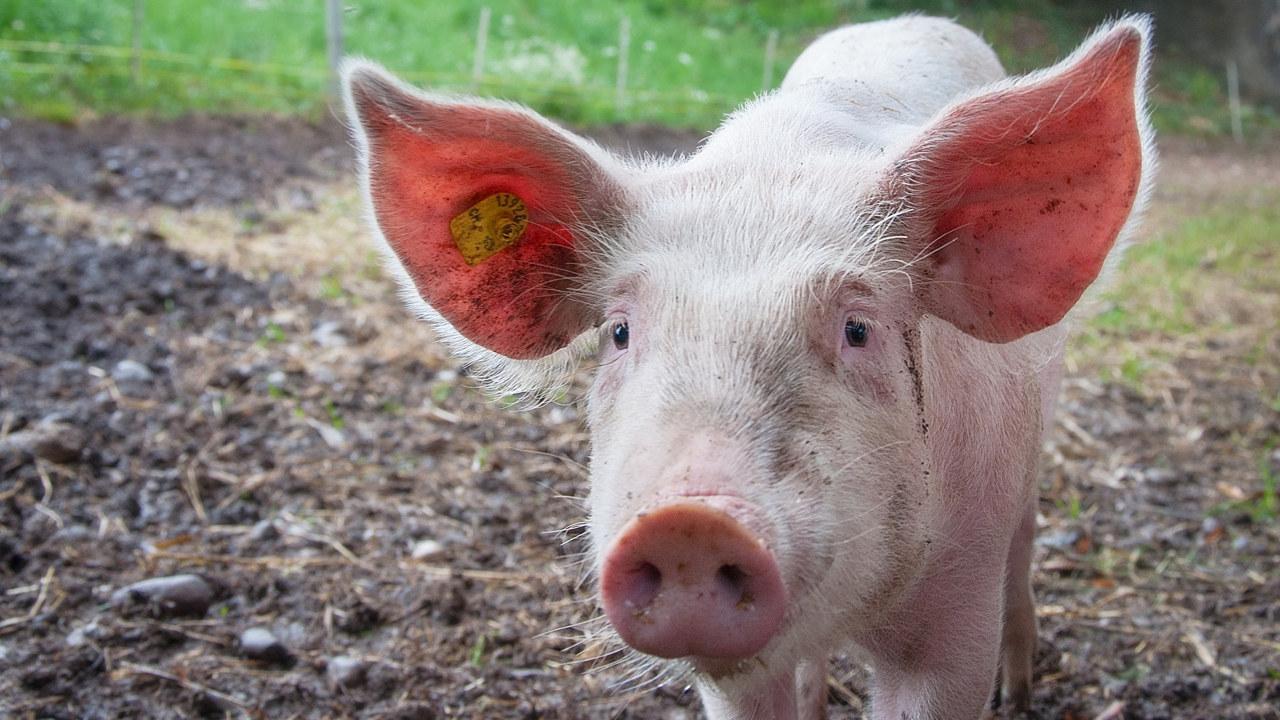 Nærbilde av en grisunge