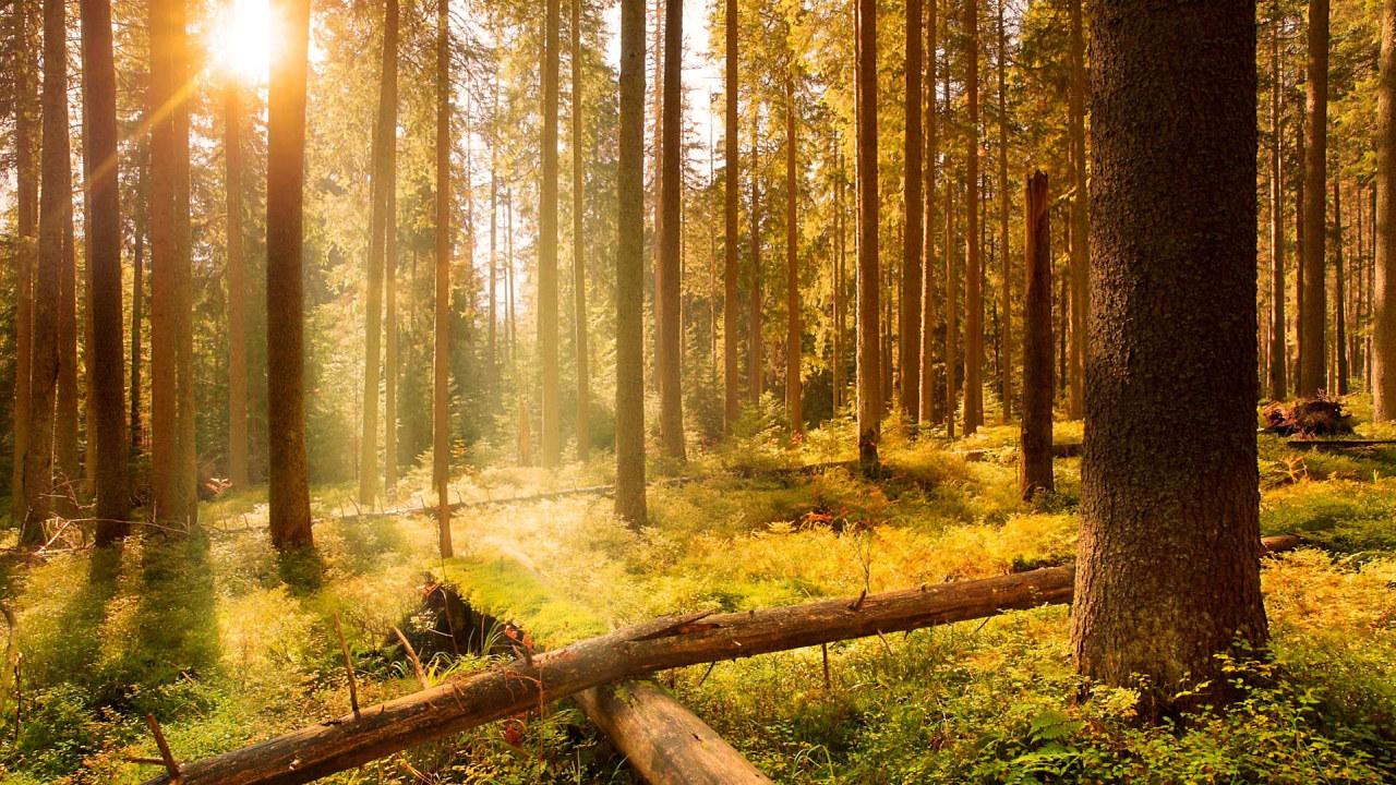 Skog i soloppgang