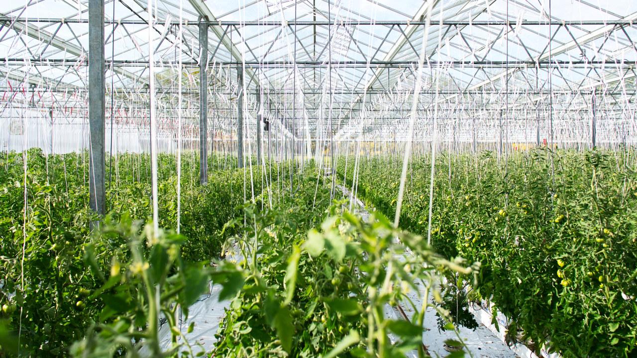 Stort drivhus med tomater