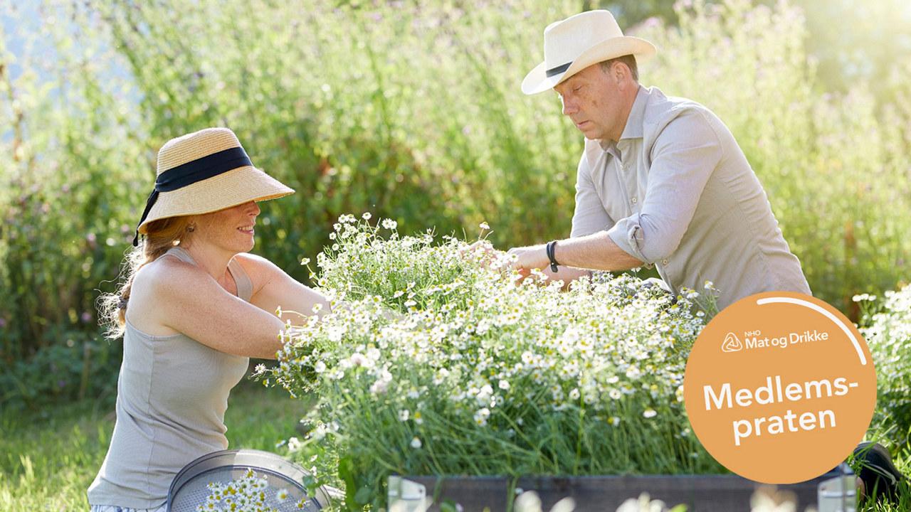 Innhøsting av urter til te hos Blinde Bonde og Babe